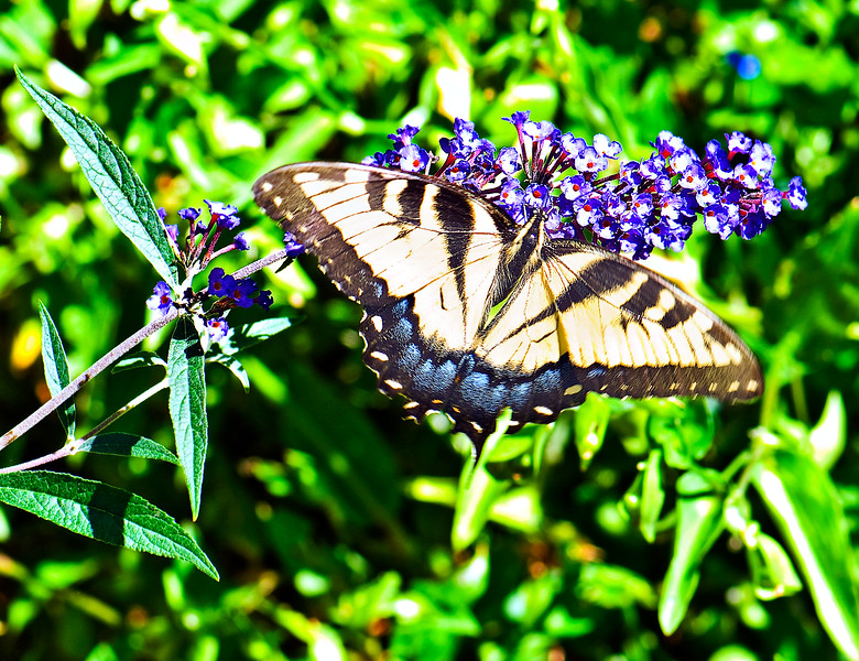 Butterfly_Eastern Tiger Swallowtail_Heron Haven_0803