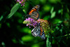 Butterfly_Monarchs_Haworth Park_DDD2444