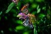 Butterfly_Monarchs_Haworth Park_DDD2444