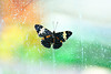 Butterfly_Blue Cracker_HDZoo_DDD2158