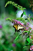 Butterfly_Eastern Tiger Swallowtail_Haworth Park_DDD2217