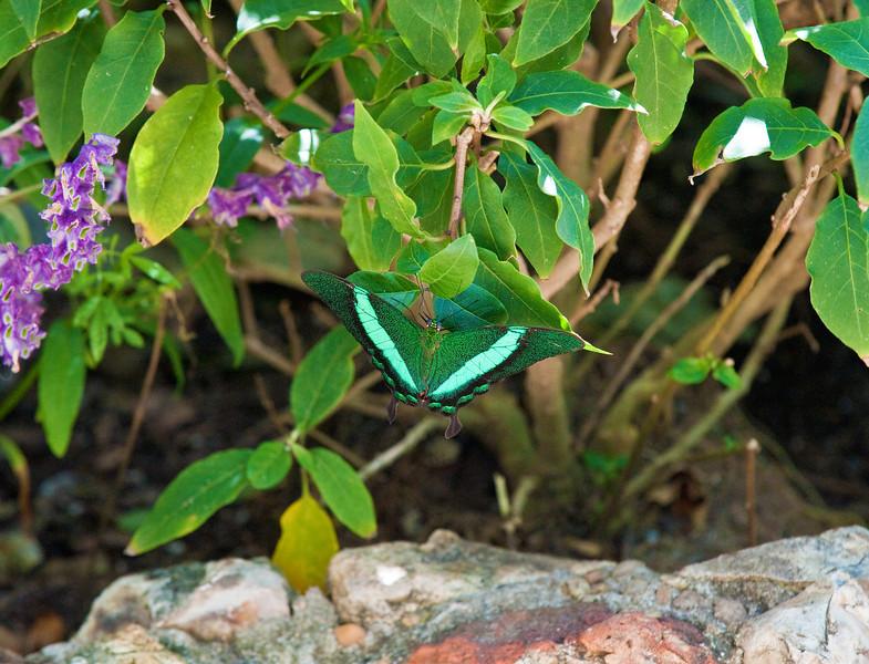 Butterfly_Emerald Swallowtail_DDD5177