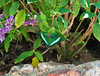 Butterfly_Emerald Swallowtail_DDD5177