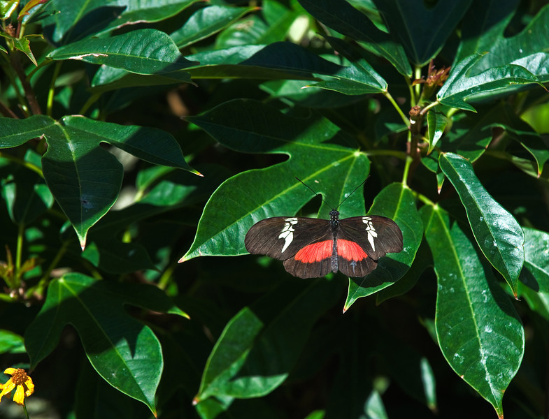 Butterfly_Mexican Heliconian_DDD5101