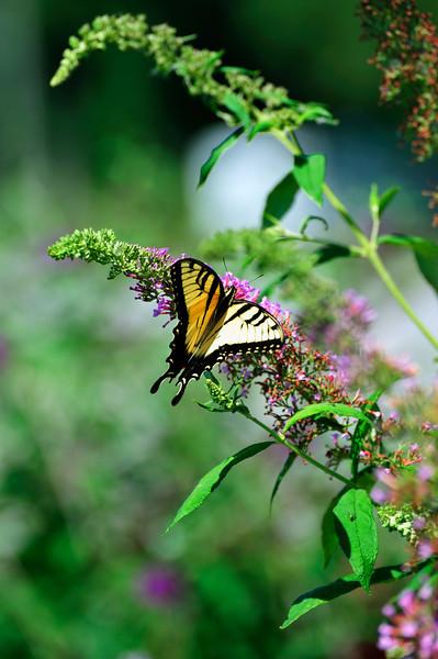 Butterfly_Eastern Tiger Swallowtail_Haworth Park_DDD2219