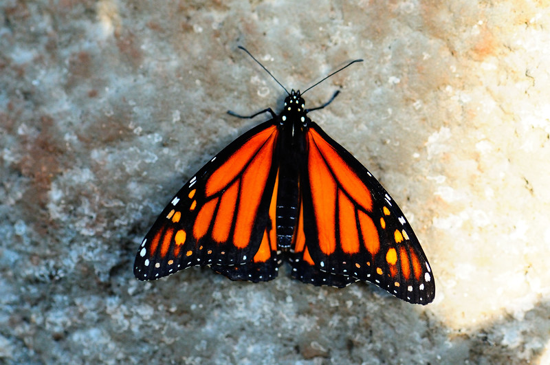 Butterfly_Monarch_HDZoo_DON1718