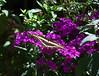 Butterfly_Giant Swallowtail_DDD5234