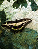 Butterfly_Giant Swallowtail_DDD5143