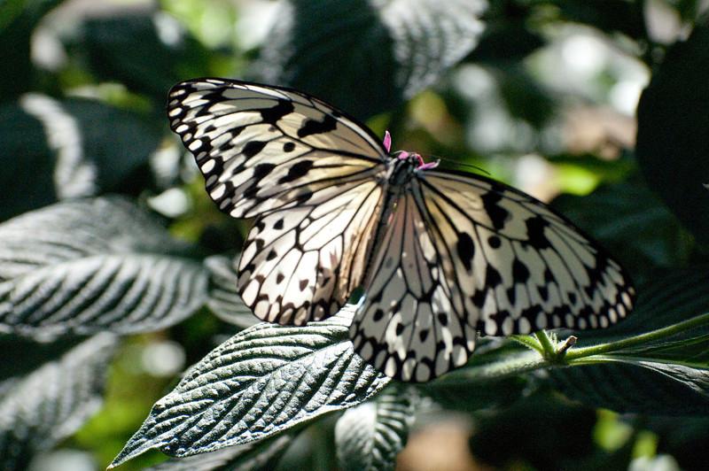 Butterfly_Paper Kite_DSC2465