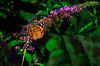 Butterfly_Painted Lady_Haworth Park_DDD2410