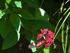 Butterfly_Mexican Heliconian_DDD5077