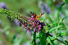 Butterfly_Painted Lady_Haworth Park_DON2089