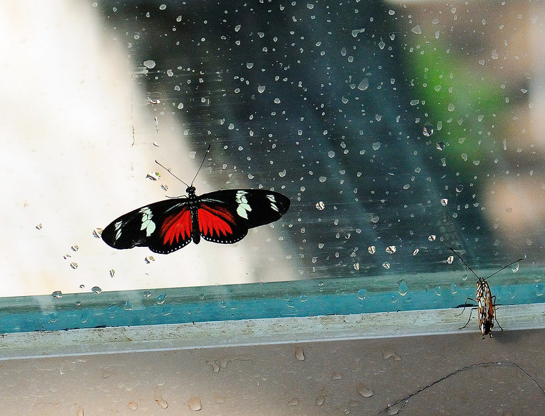 Butterfly_Doris Heliconian_HDZoo_Cropped_DON1746