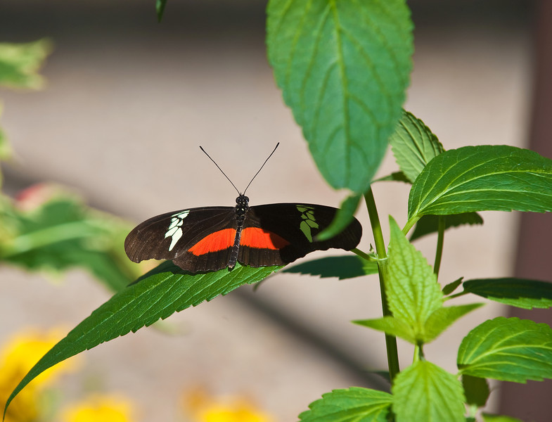Butterfly_Mexican Heliconian_DDD5045