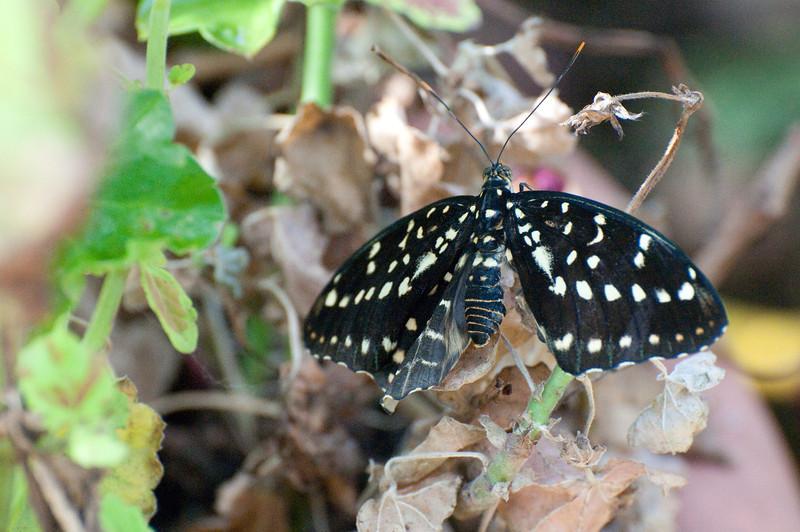 Butterfly_The Archduke_DSC2438