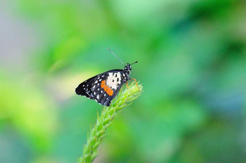 Butterfly_HDZoo_DON1734