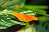 Butterfly_Julia Heliconian_HDZoo_DDD2146