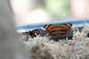 Butterfly_Banded Orange Heliconian_DSC2444
