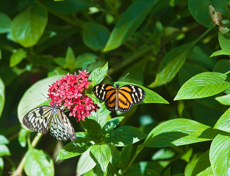 Butterfly_Large Tiger_Paper Kite_DDD5103