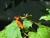 Butterfly_Julia Heliconian_DDD5293