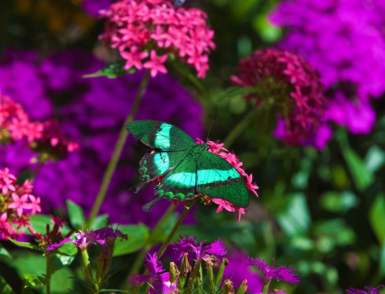 Butterfly_Emerald Swallowtail_DDD5325