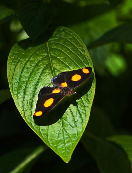 Butterfly_Grecian Shoemaker_DDD5071