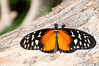 Butterfly_Heliconius Hecale_DSC2492