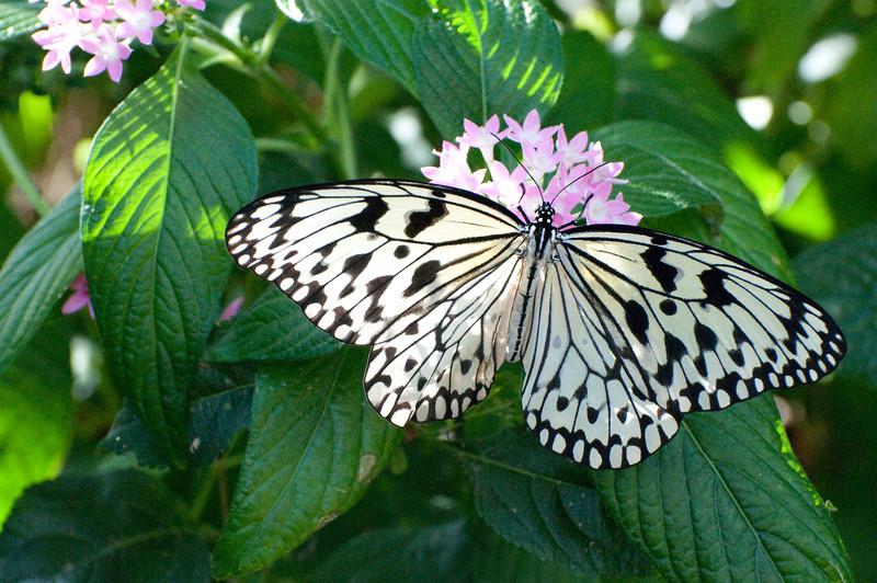 Butterfly_Paper Kite_DSC2477
