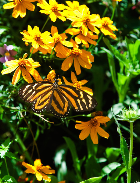 Butterfly_Large Tiger_DDD5053