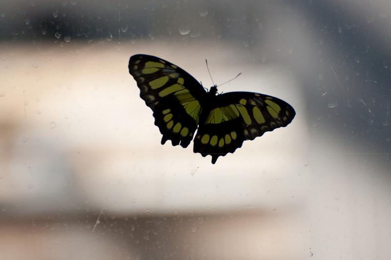 Butterfly_Malachite_DSC2615