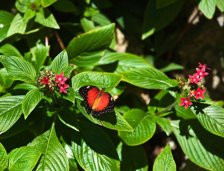 Butterfly_Tiger Longwing_DDD5172
