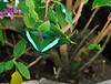 Butterfly_Emerald Swallowtail_DDD5178