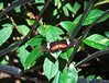 Butterfly_Mexican Heliconian_DDD5202