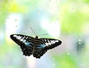 Butterfly_Clipper_SE Asia_2_HDZoo_DON1762