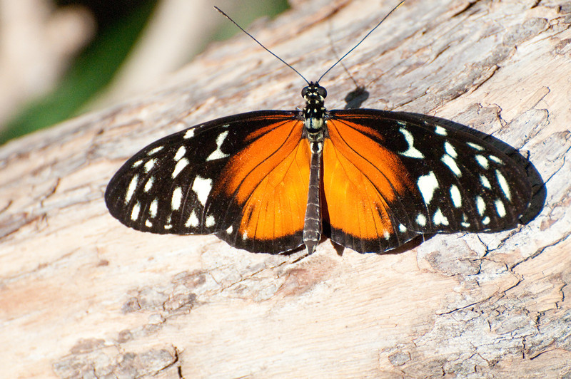 Butterfly_Heliconius Hecale_DSC2493