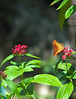 Butterfly_Mexican Silverspot_DDD5095