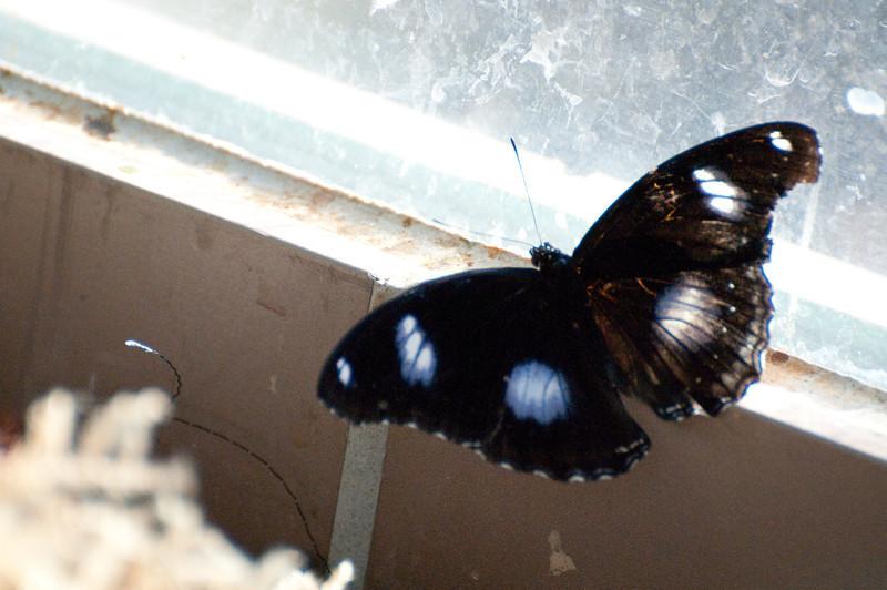 Butterfly_The Great Egg Fly_DSC2573