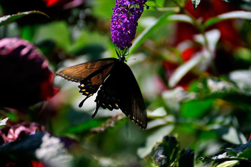 Butterfly_Eastern Tiger Swallowtail_Female Dark Version_Haworth Park_DDD2463