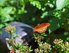 Butterfly_Mexican Silverspot_DDD5310