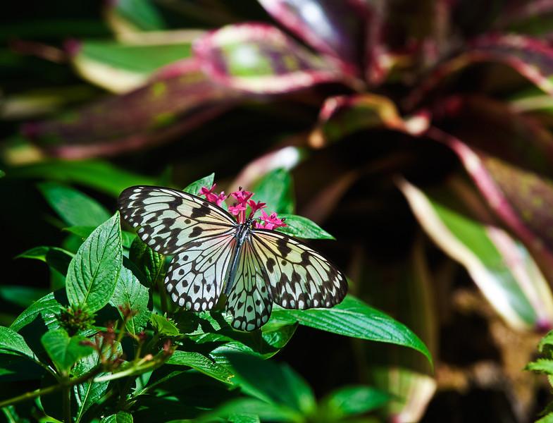 Butterfly_Paper Kite_DDD5068