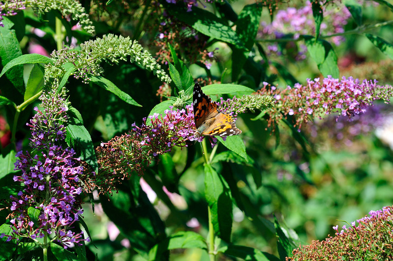 Butterfly_Painted Lady_Haworth Park_DON2052