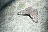 Butterfly_Grey Cracker_DSC2556