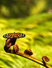 Butterfly_Large Tiger_DDD5337