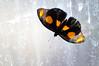 Butterfly_Grecian Shoemaker_DSC2563