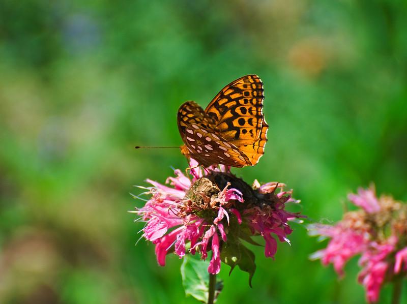 Butterfly_Aphrodite Fritillary_Schramm Park_DON1964