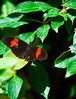 Butterfly_Heliconius_cyrbia_DDD5147