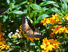 Butterfly_Clipper_DDD5223