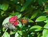 Butterfly_Large Tiger_Paper Kite_DDD5104