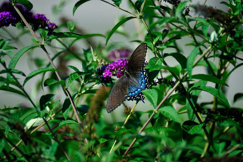 Butterfly_Eastern Tiger Swallowtail_Female Dark version_Haworth Park_DDD2379