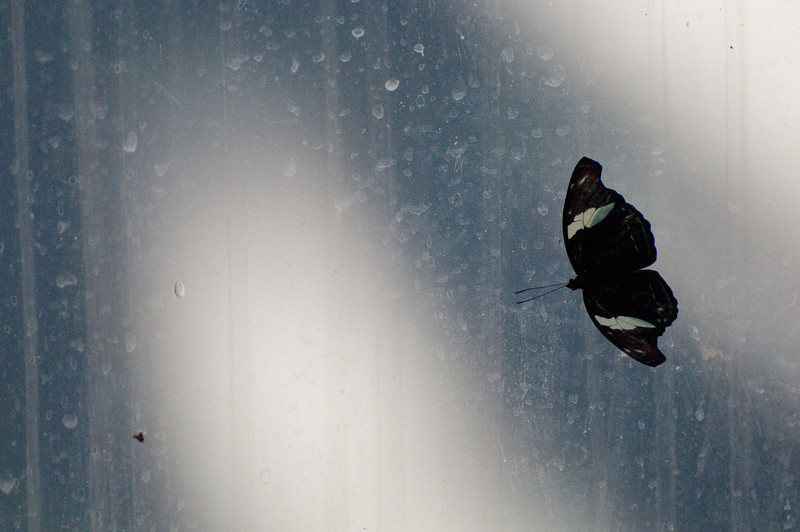 Butterfly_Heliconius Sara_DSC2549
